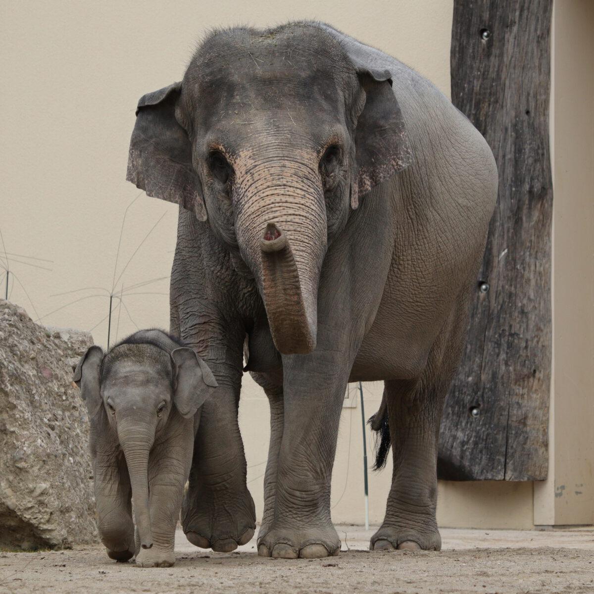 Asiatische Elefanten Temi und Otto im Tierpark Hellabrunn