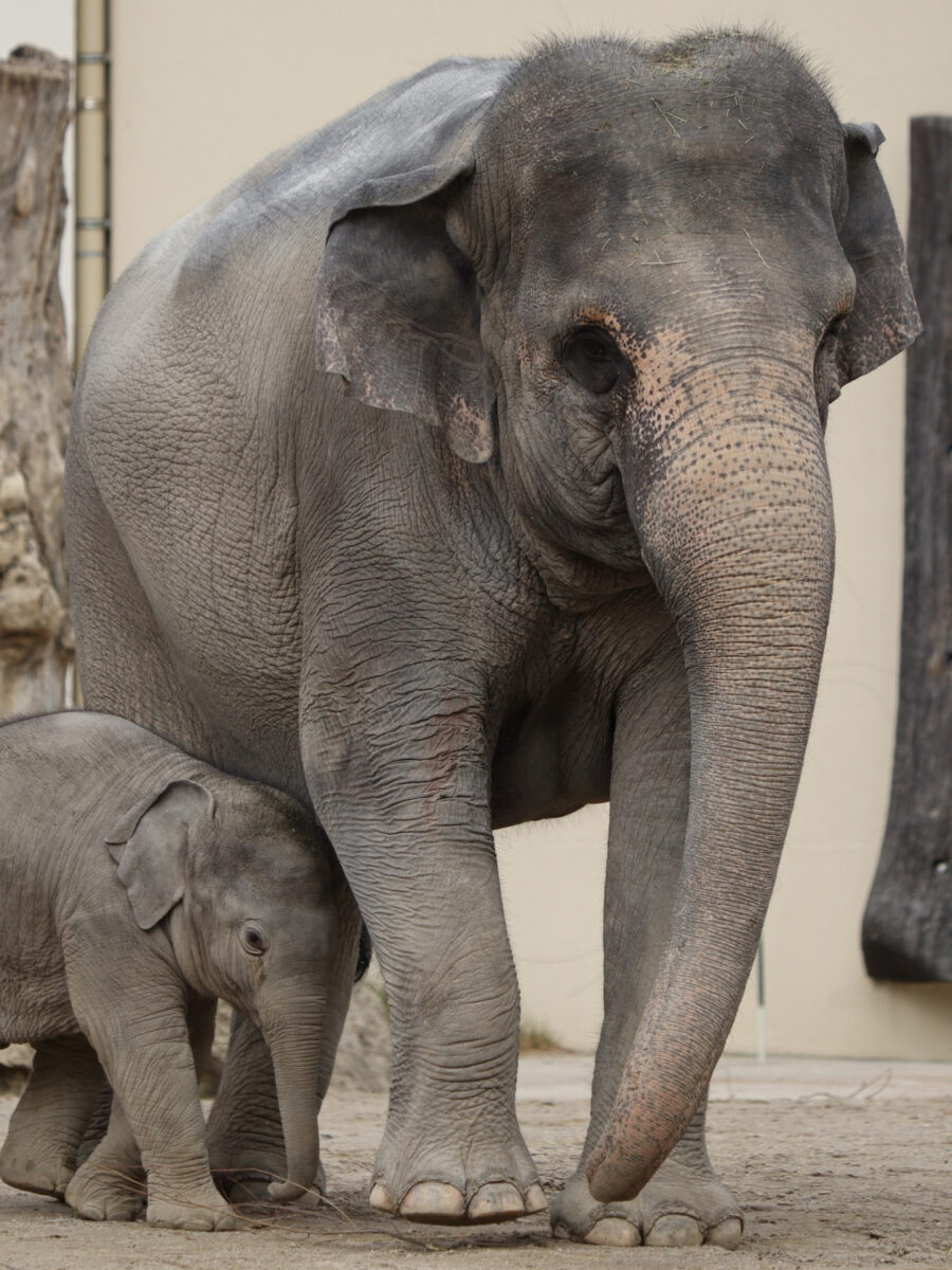 Asiatische Elefantenkuh Temi mit Nachwuchs Otto im Tierpark Hellabrunn