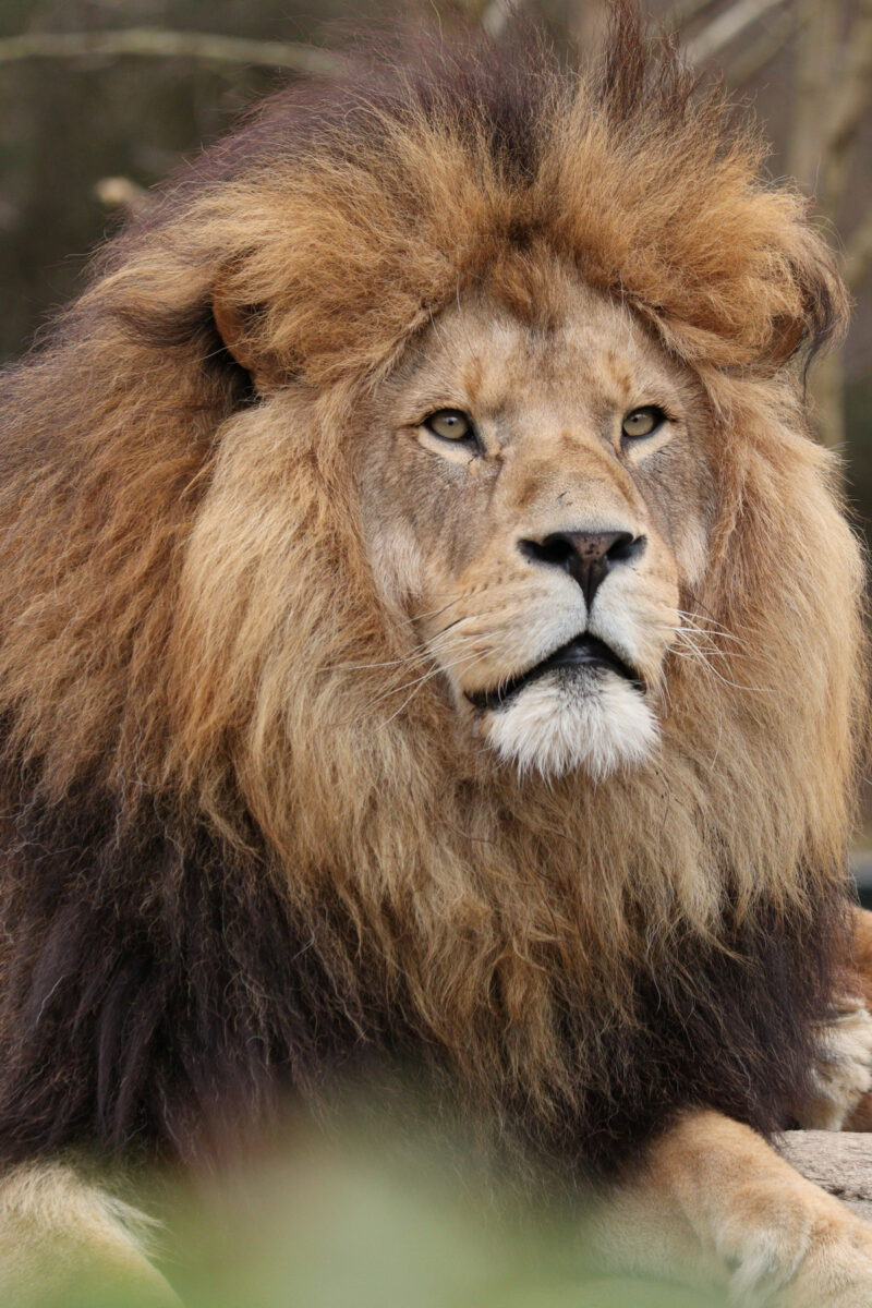 Afrikanischer Löwe Max im Tierpark Hellabrunn