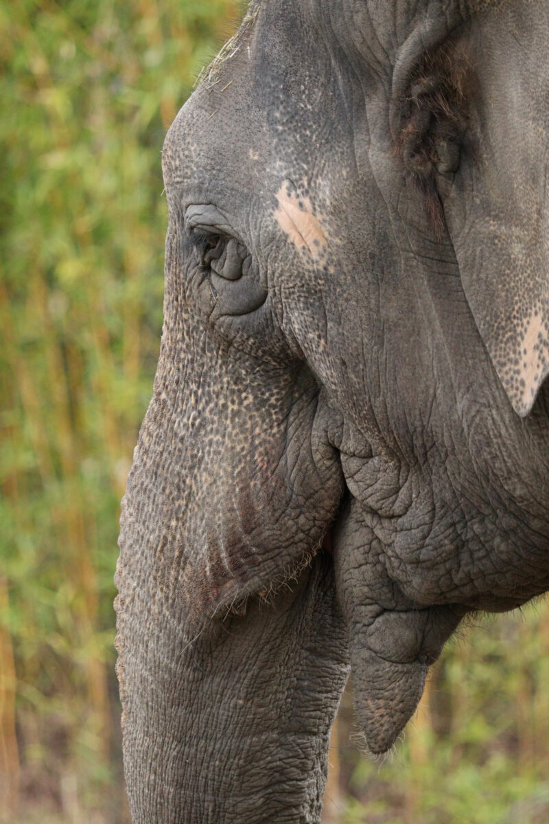 Asiatische Elefantenkuh Mangala im Tierpark Hellabrunn
