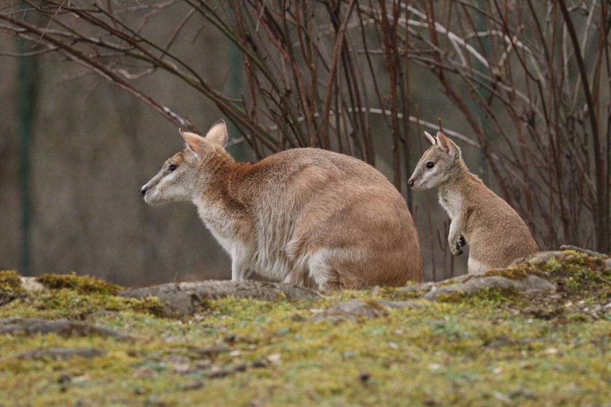 Flinkwallaby mit Jungtier im Tierpark Hellabrunn