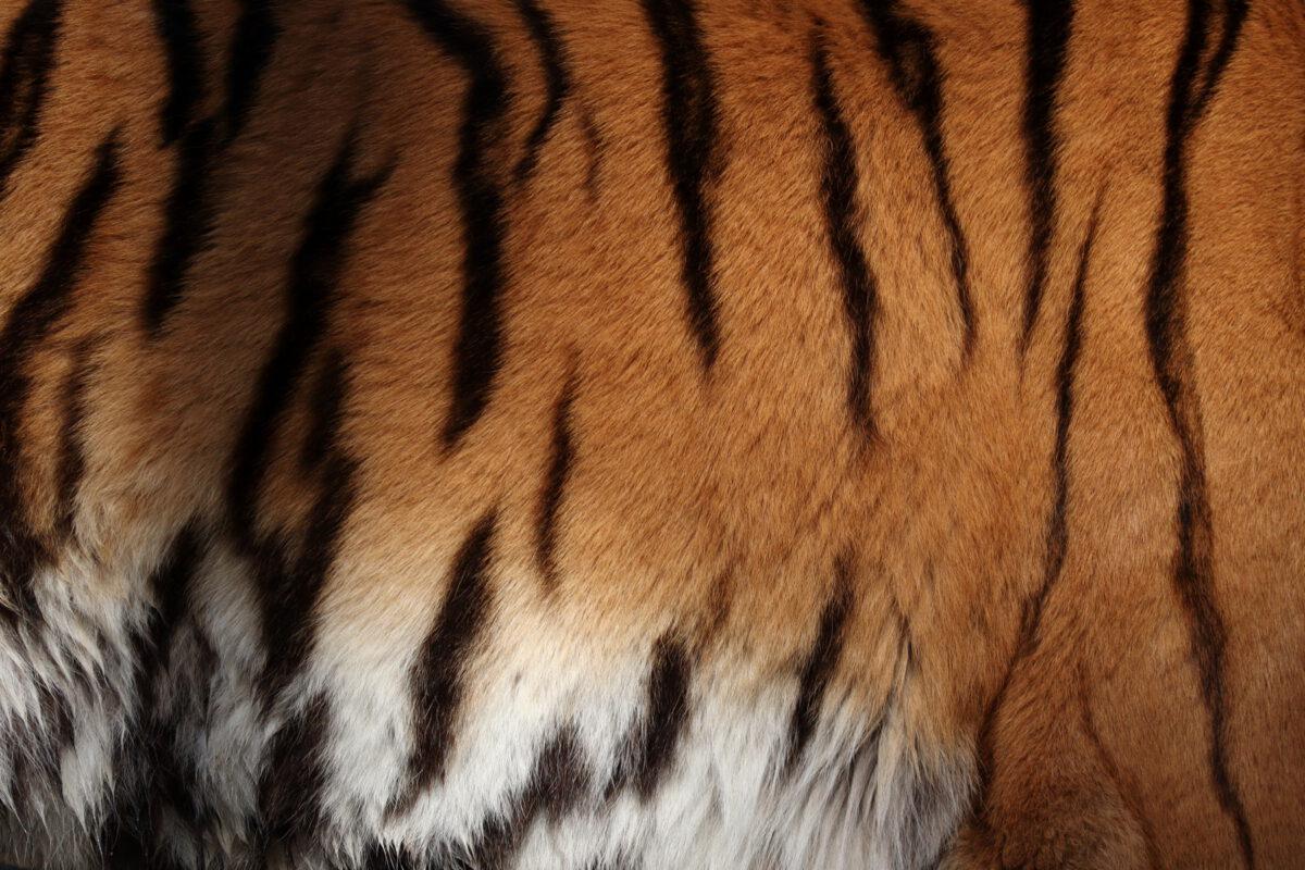 Fell des Sibirischen Tigers Jegor im Tierpark Hellabrunn