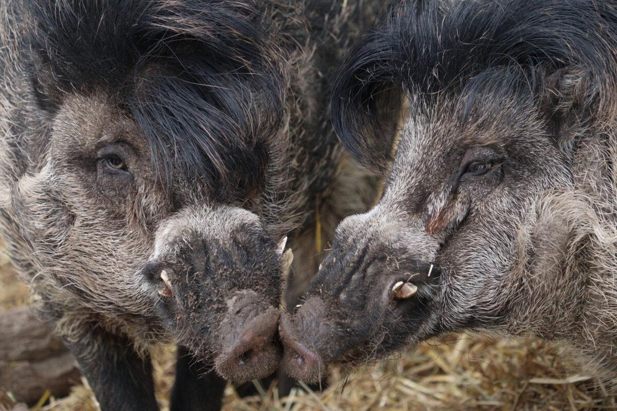 Visayas-Pustelschweine im Tierpark Hellabrunn