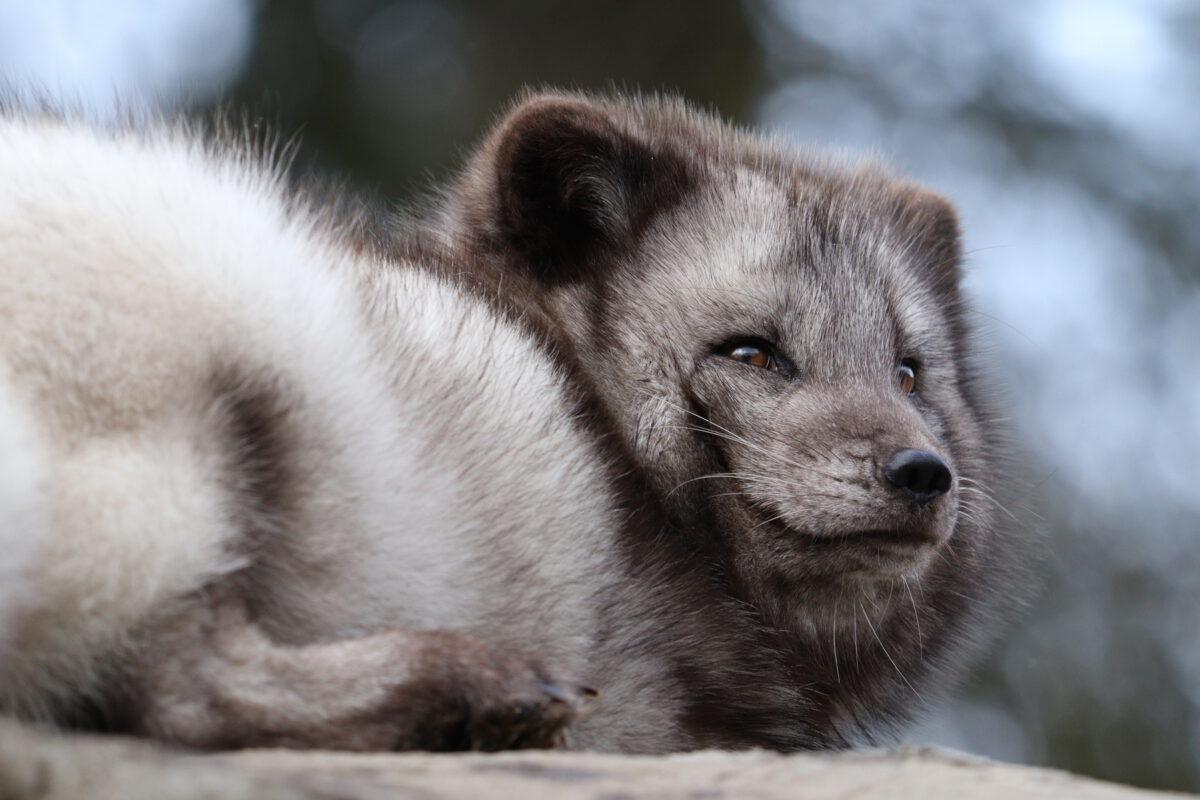 Polarfuchs im Tierpark Hellabrunn