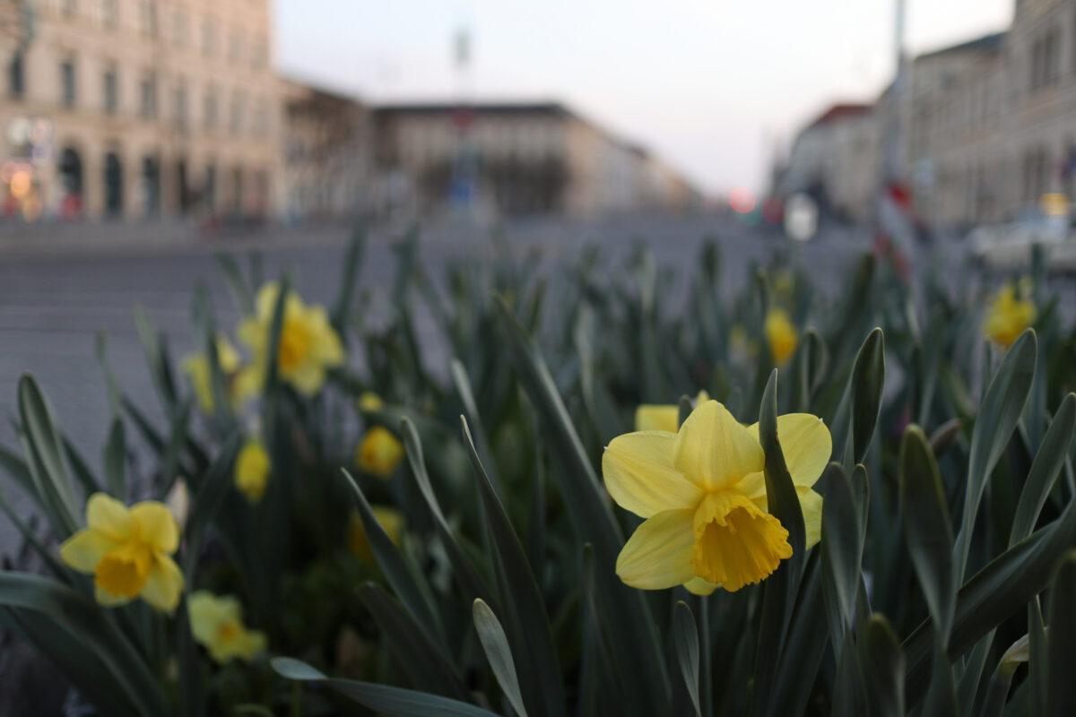 Frühlingsblumen auf dem Odeonsplatz in München am Morgen