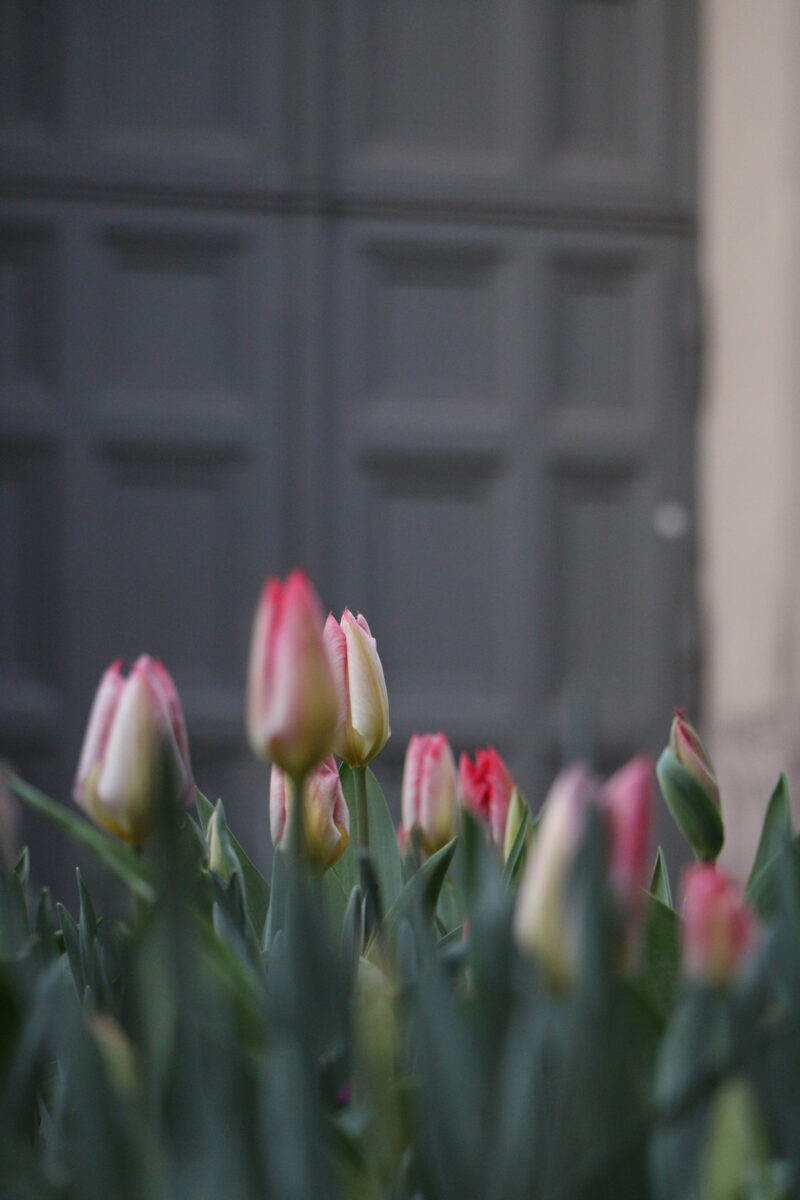 Tulpen am Salvatorplatz in München