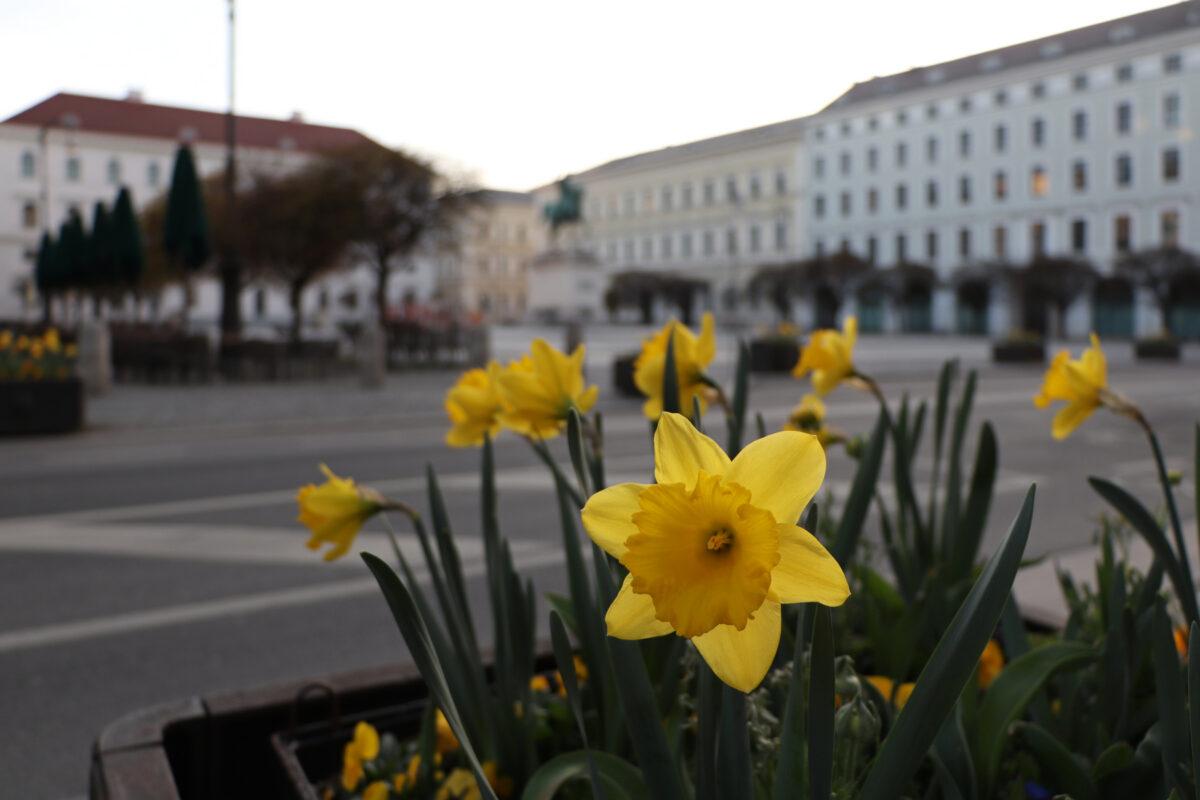 Osterglocken am Wittelsbacherplatz in München am Morgen