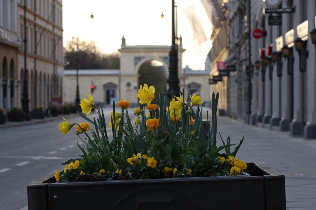 Frühlingsblumen in der Brienner Straße in München mit Blick in Richtung Hofgarten am Morgen