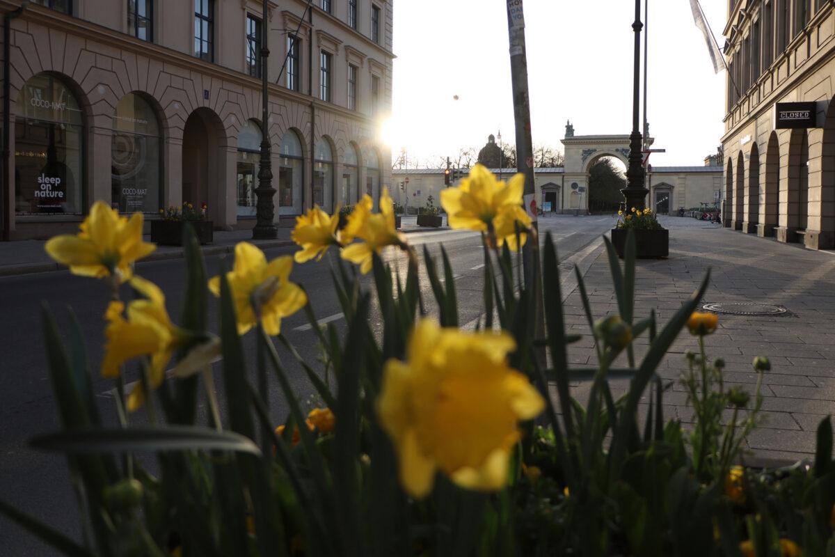 Osterglocken im Morgenlicht in der Brienner Straße in München mit Blick in Richtung Hofgarten