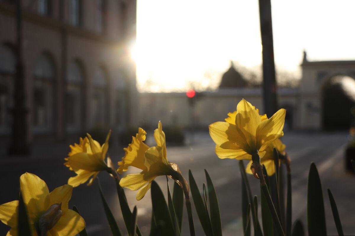 Osterglocken im Morgenlicht in der Brienner Straße in München