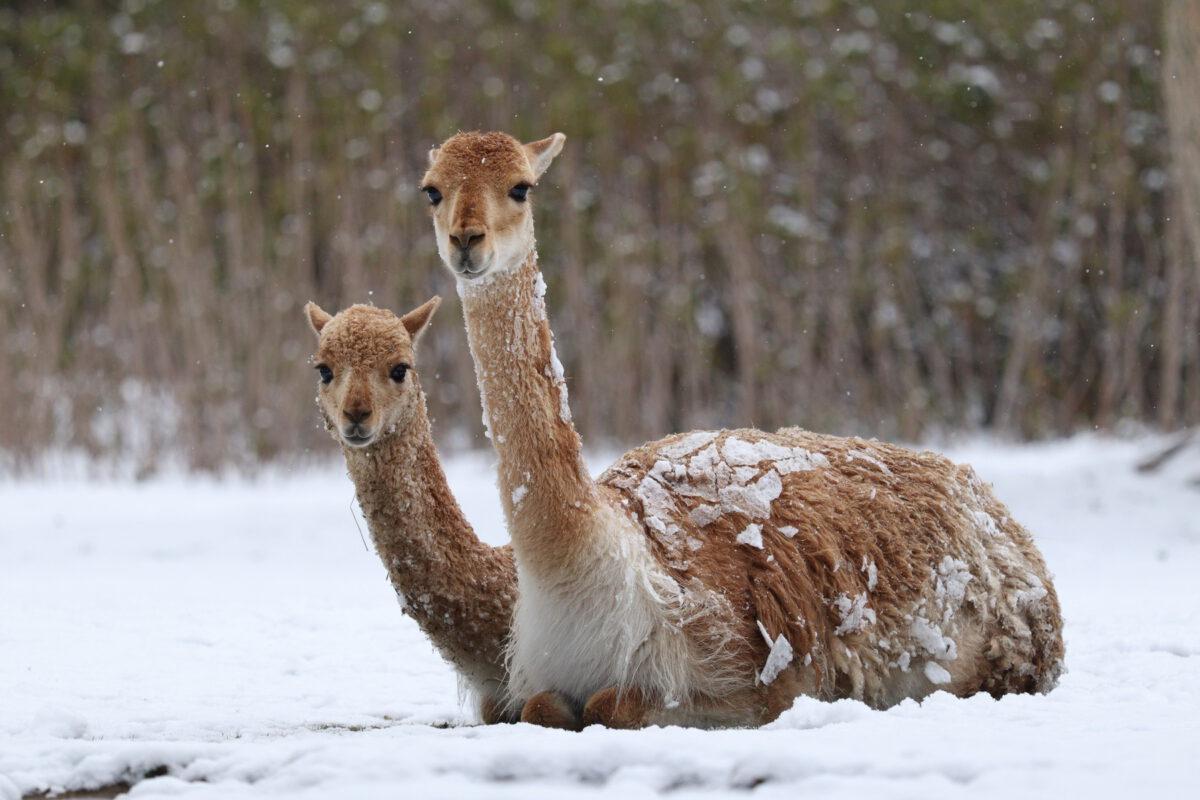 Vikunjas im Schnee im Tierpark Hellabrunn