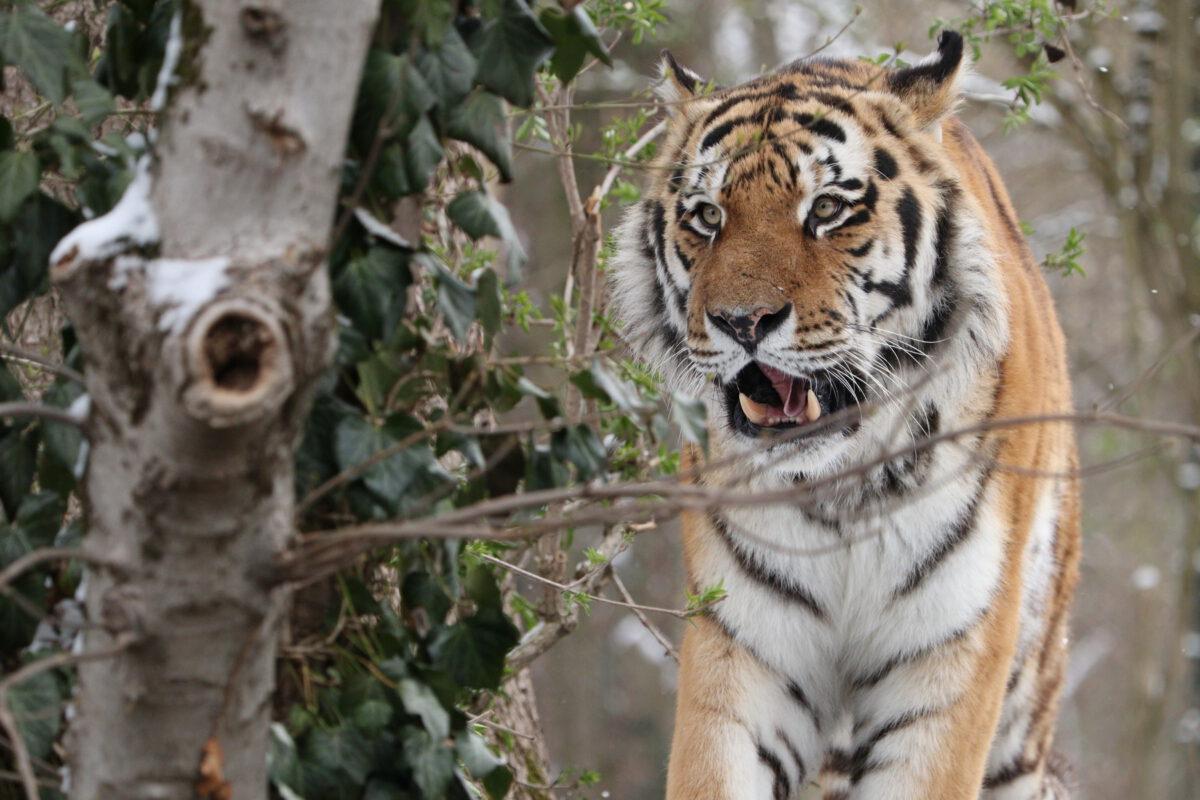 Sibirischer Tiger Jegor im Schnee im Tierpark Hellabrunn