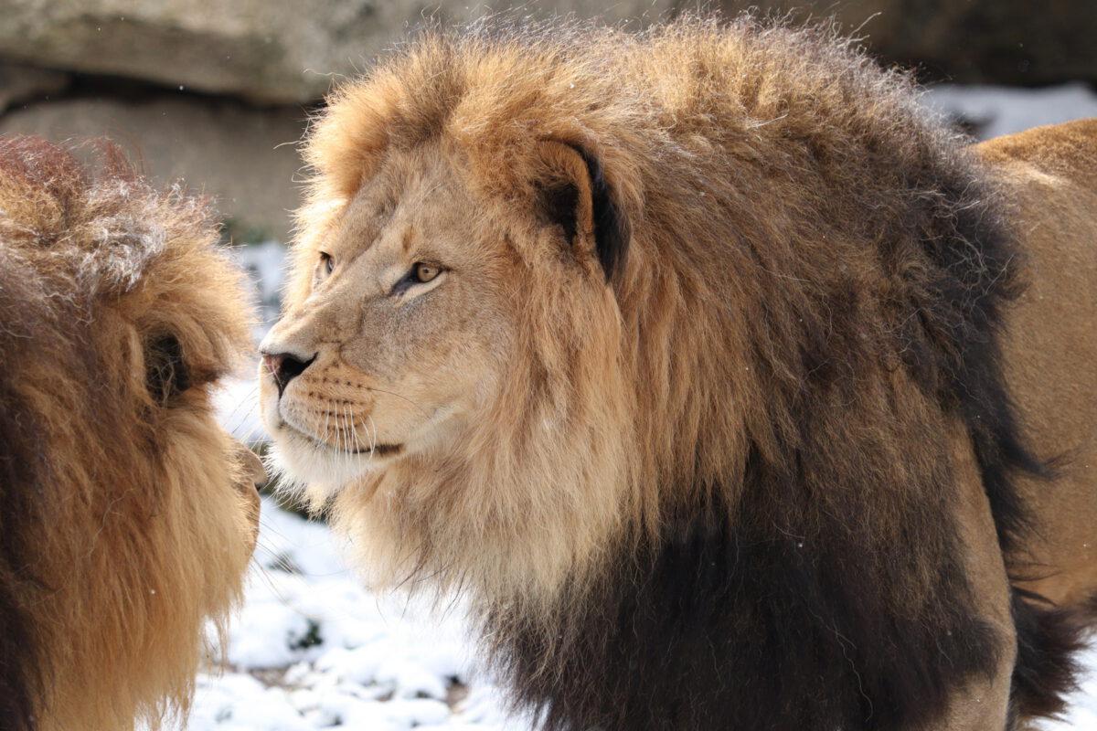 Afrikanische Löwen Benny und Max im Schnee im Tierpark Hellabrunn