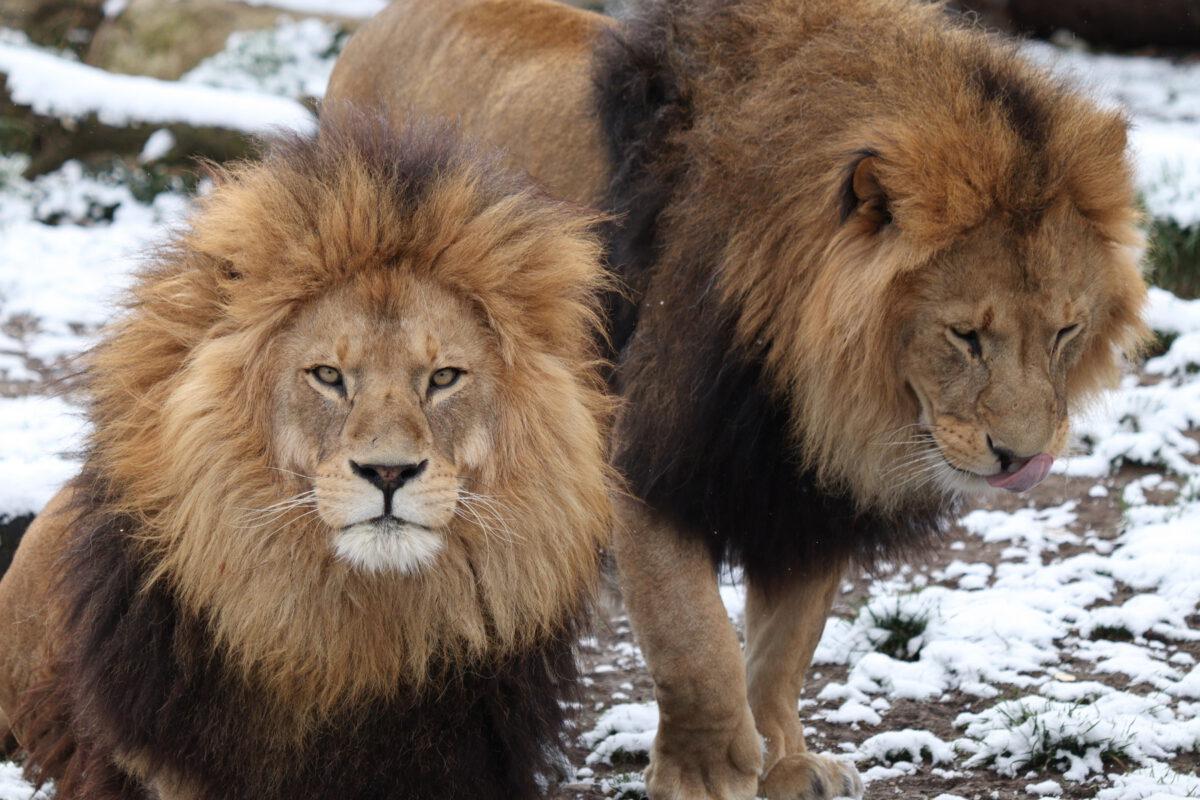 Afrikanische Löwen Max und Benny im Schnee im Tierpark Hellabrunn