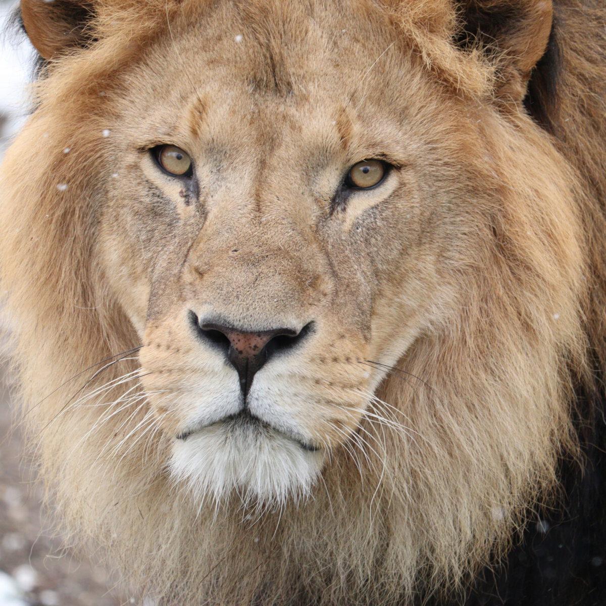 Afrikanischer Löwe Benny im Schnee im Tierpark Hellabrunn