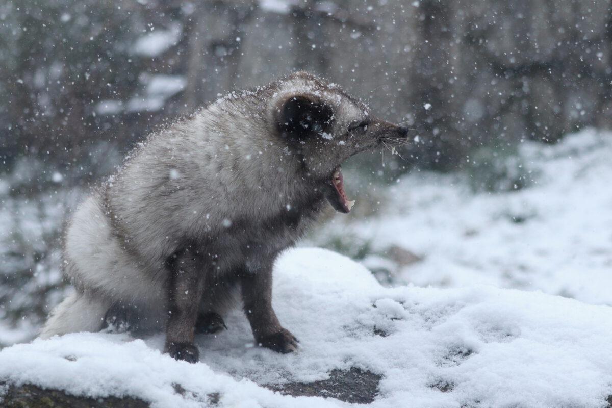 Gähnender Polarfuchs im Schnee im Tierpark Hellabrunn