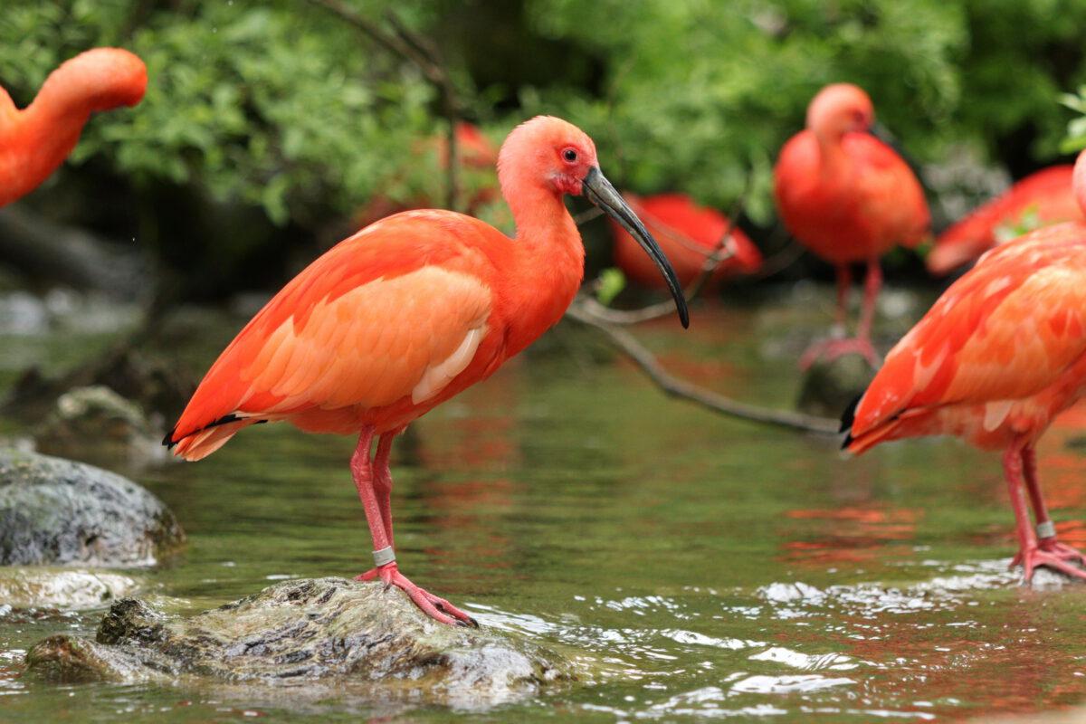 Rote Sichler im Tierpark Hellabrunn