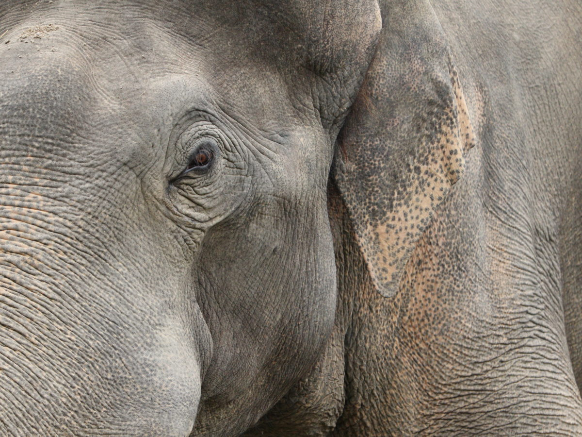 Asiatischer Elefantenbulle Gajendra im Tierpark Hellabrunn