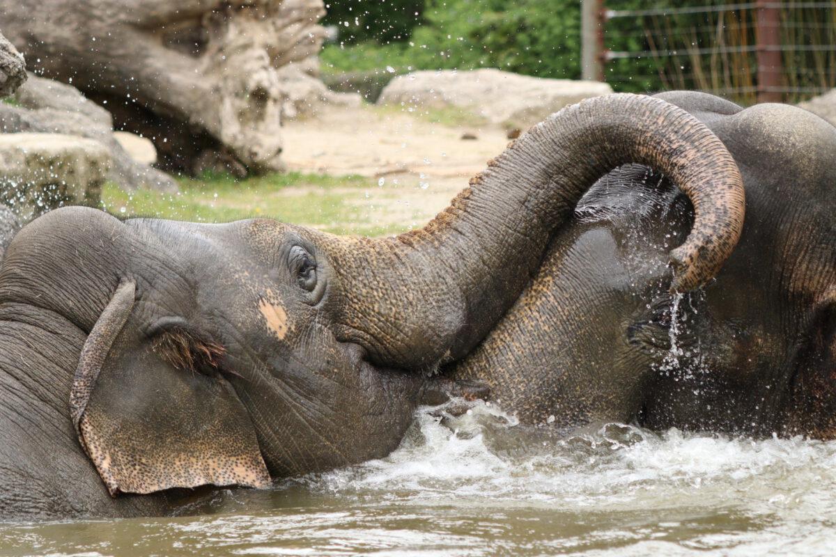 Asiatische Elefanten Gajendra und Mangala beim Baden im Tierpark Hellabrunn
