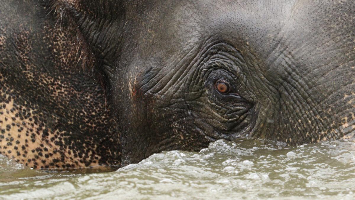 Asiatischer Elefantenbulle Gajendra beim Baden im Tierpark Hellabrunn