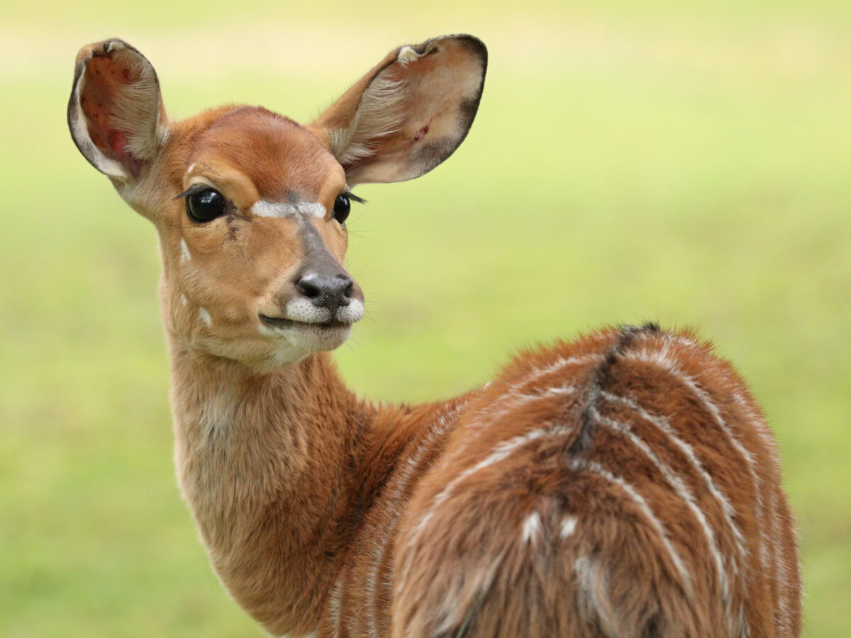 Nachwuchs bei den Tiefland-Nyalas im Tierpark Hellabrunns