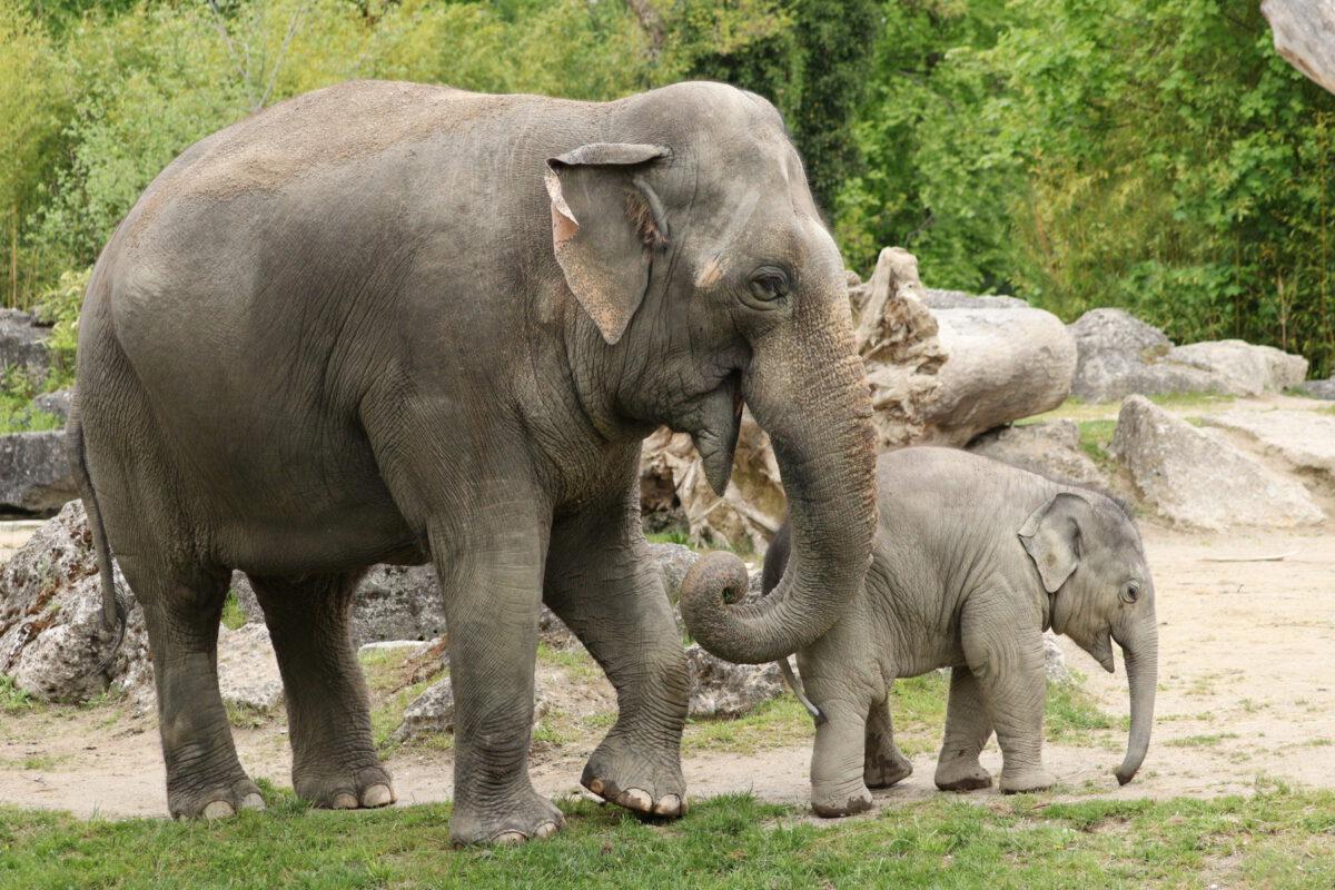Asiatische Elefanten Mangala und Otto im Tierpark Hellabrunn