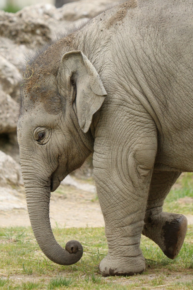 Asiatischer Elefant Otto im Tierpark Hellabrunn