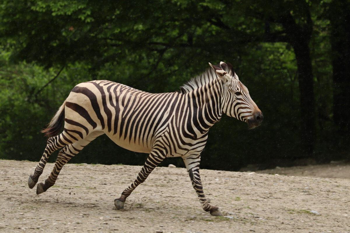 Galoppierendes Hartmann-Bergzebra im Tierpark Hellabrunn