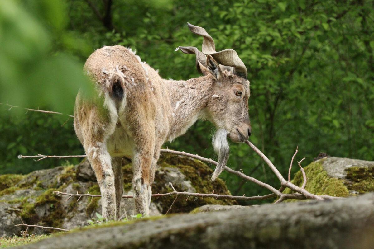 Markhor im Tierpark Hellabrunn