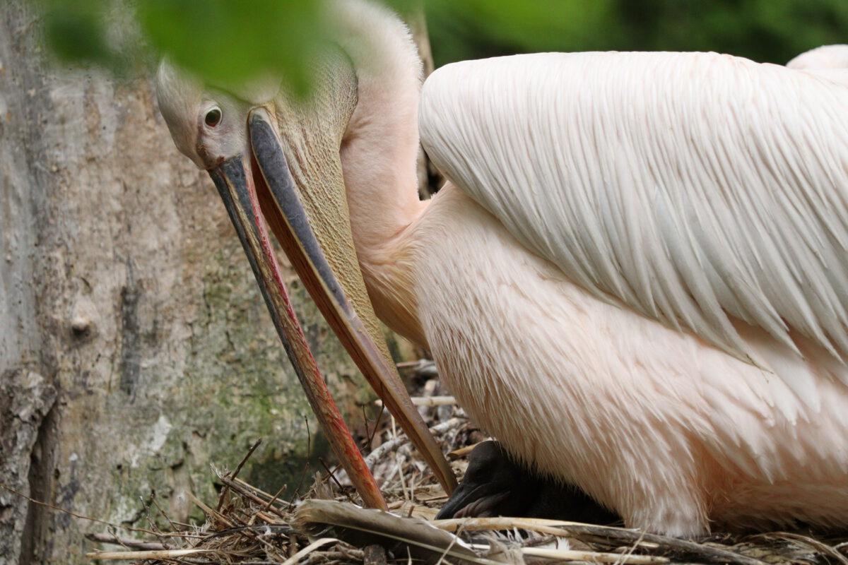 Rosa Pelikan mit Küken im Tierpark Hellabrunn