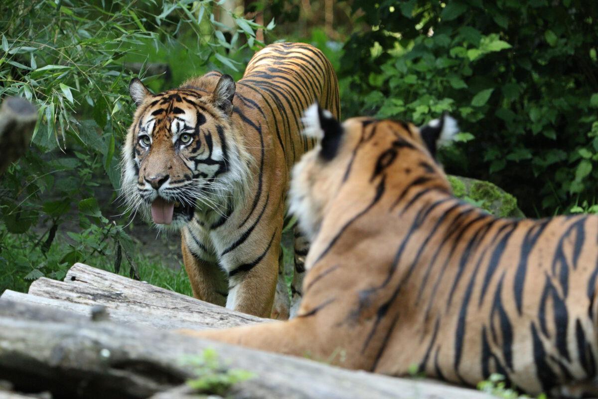 Sumatra Tiger Dhjala und Berani im Zoo Augsburg