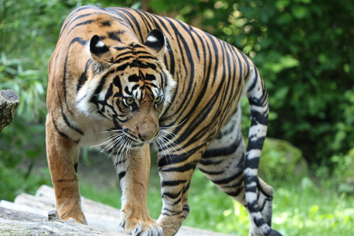 Sumatra Tigerin Berani im Zoo Augsburg