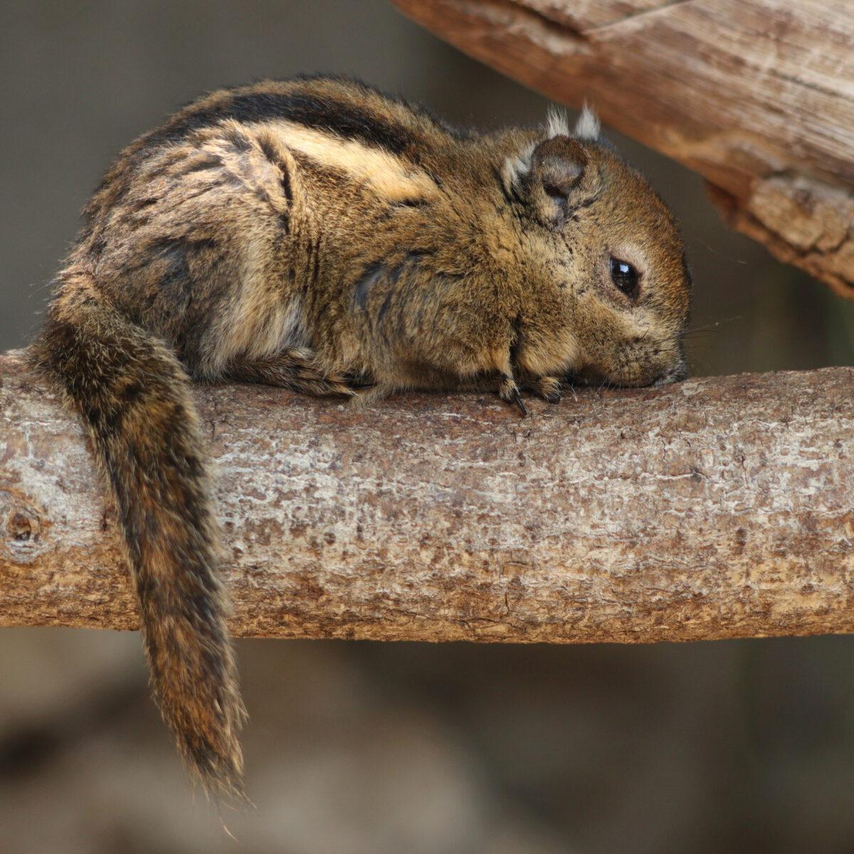 Chinesisches Baumstreifenhörnchen im Zoo Augsburg