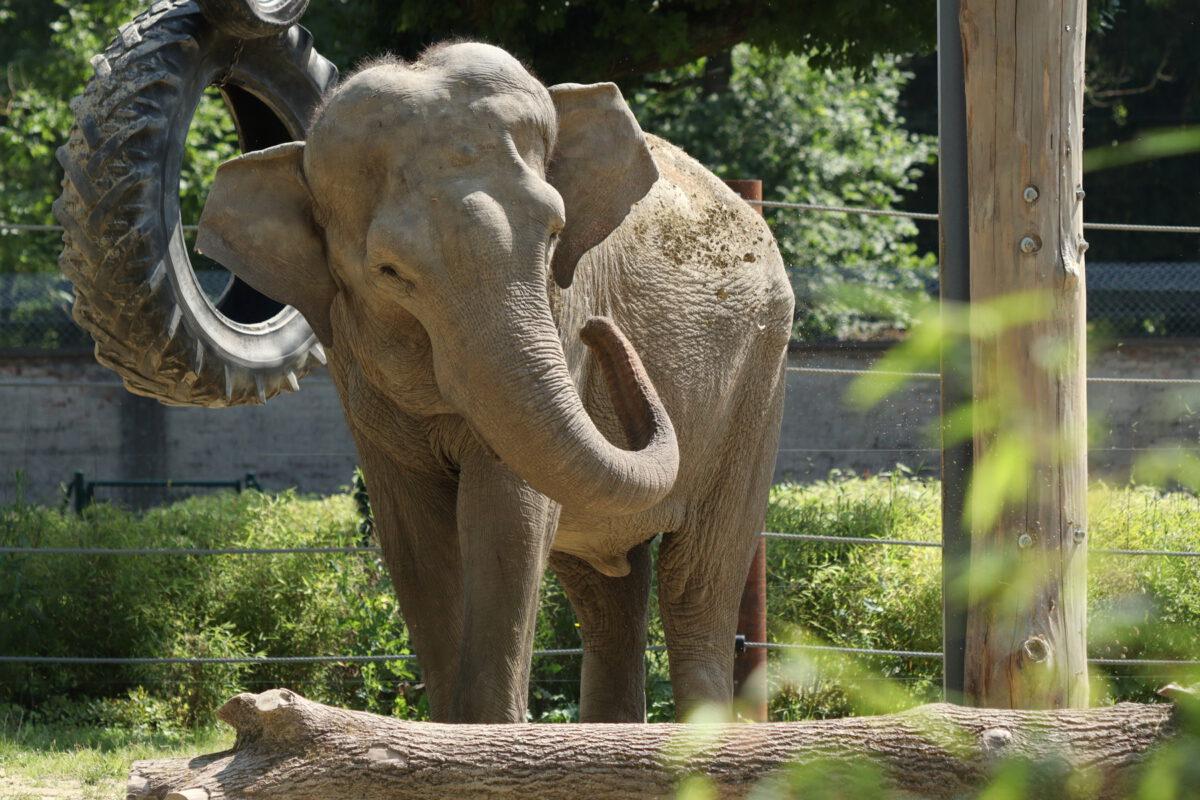 Asiatische Elefantenkuh im neuen Gehege im Zoo Augsburg