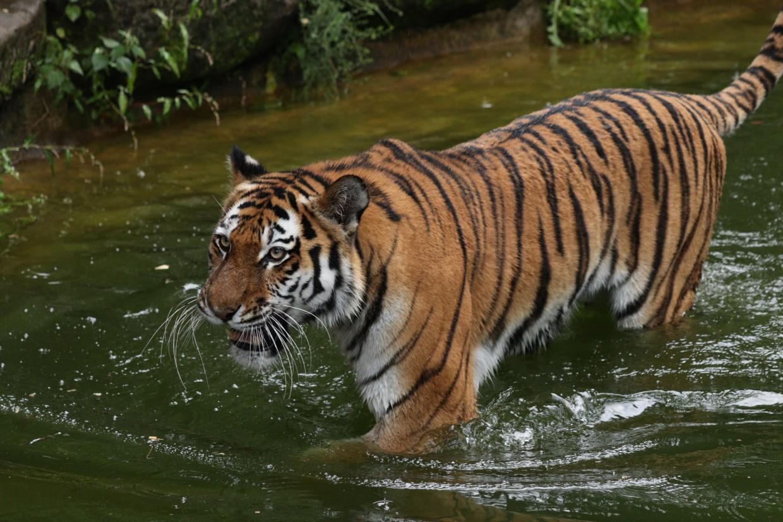 Sibirische Tigerin Katinka im Tiergarten Nürnberg im Wasser