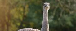 Darwin-Nandu im Tierpark Hellabrunn im Herbst