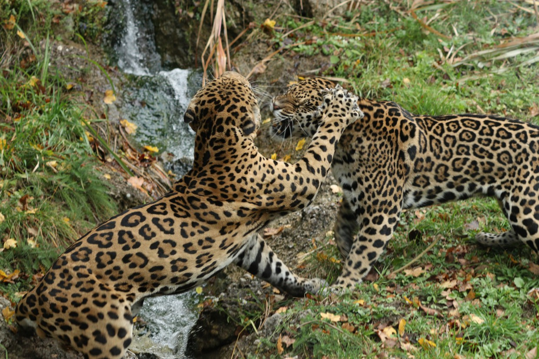Streitende Jaguare im Zoo Salzburg