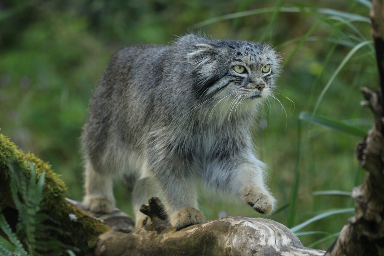 Manul im Tierpark Hellabrunn