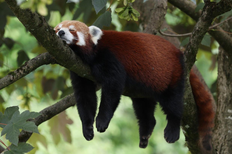 Roter Panda Miu im Tierpark Hellabrunn