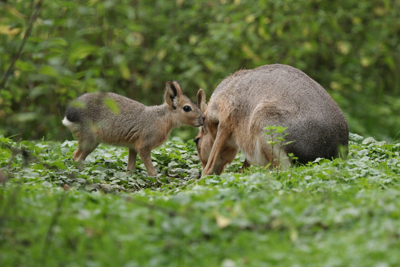 Mara mit Nachwuchs im Tierpark Hellabrunn