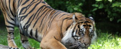Sumatra Tiger Dhjala im Zoo Augsburg