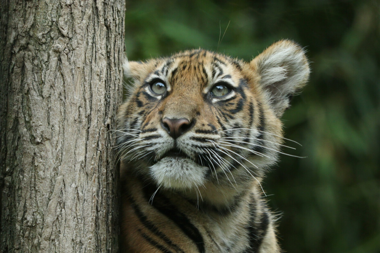 Sumatra Tiger Baby im Zoo Heidelberg